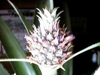 Pineapple20080401_1