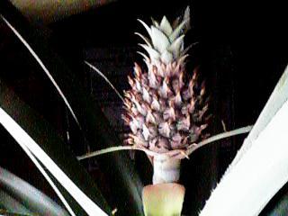 Pineapple20080411