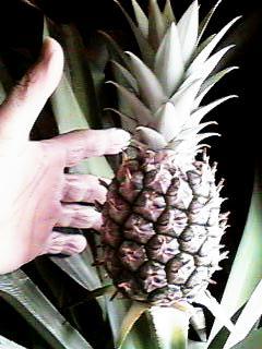 Pineapple20080508_1